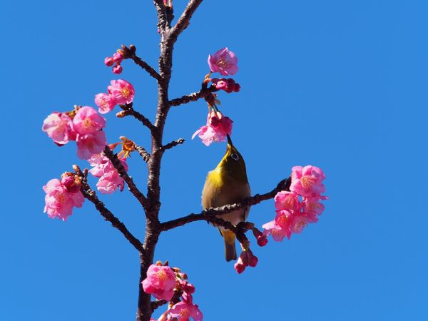 White-eye kisses cherry blossoms🌸I feel the sign of spring little by little. Flower Cherry Blossoms Sakura 桜 河津桜 Nature Beauty In Nature Freshness Clear Sky Pink Color No People Flowers Outdoors Bird Bird Photography Whiteeye メジロ Tree NoEditNoFilter Nature Beauty In Nature Olympus Japan M.ZUIKO DIGITAL Jan 21,2017