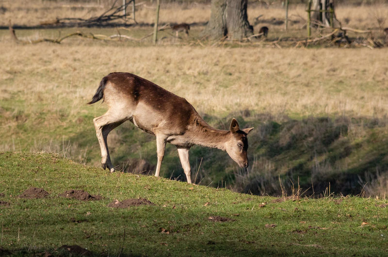 Deer Outdoors Nature Animal Themes Mammal Animal Wildlife No People Animal Profile View Standing Day One Animal Side View Selective Focus Environment Herbivorous