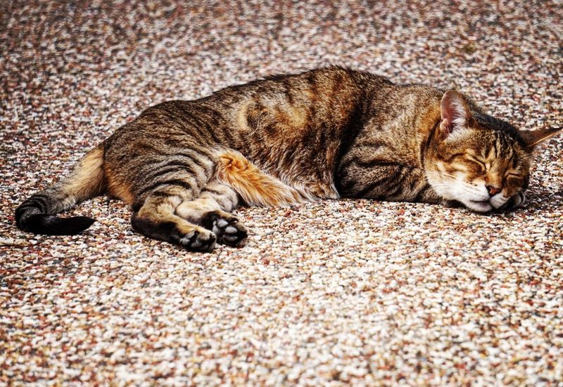 Cat 1 Domestic Cat Animal Themes Pets One Animal Domestic Animals Feline Sleeping Lying Down Relaxation Mammal Eyes Closed  No People Day Outdoors Close-up