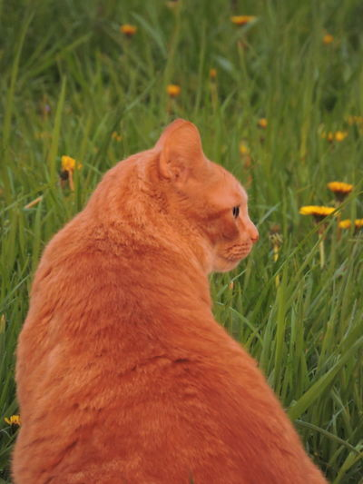 Sunlit Glow Animal Themes One Animal Animal Grass Mammal Field Plant Vertebrate Cat Feline Pets Domestic Animals Land Domestic Domestic Cat Nature No People Looking Close-up Day Whisker Animal Head  Ginger Cat