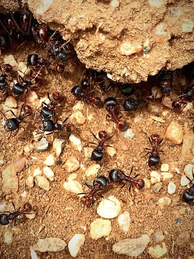 """""""The Colony"""" A macro photo of a colony of ants going about their busy schedule. """"Ants are good citizens, they place group interests first"""" —Clarence Day Ant Ants Antslife Ants At Work Insect Insect Photography Macro Macro_collection Macro Photography Macro Beauty Macro Nature Macrophotography Macro Insects"""
