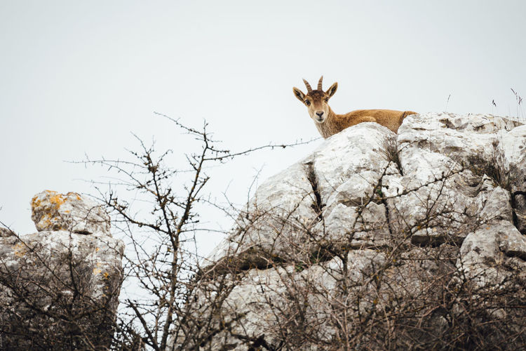 Low Angle View Of Spanish Ibex On Rock Formation Against Clear Sky