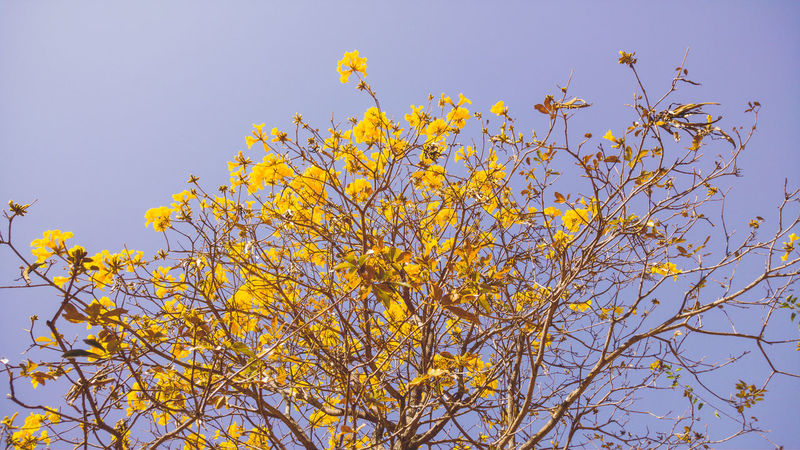 Sunlight Capture The Moment Contrast EyeEm LG G4 Yellow Flower Yellow Handroanthus Arbor Nature Flower Winter Landscape Wallpaper Brasília - Brazil