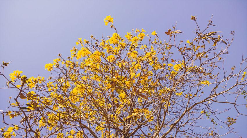 Sunlight Capture The Moment Contrast EyeEm LG G4 Yellow Flower Yellow Handroanthus Arbor Nature Flower Winter Landscape Wallpaper Brasília - Brazil