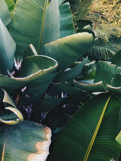 Banana Banana Leaf Banana Tree Beauty In Nature Botany Close-up Day Flower Fragility Freshness Green Color Growth Leaf Leaves Nature No People Outdoors Palm Leaf Plant Plant Part Vulnerability