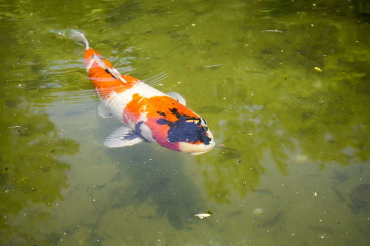 Japan Nara OSAKA Tokyo Animal Themes Day Japanese Fish Kyoto Nature Nishikigoi Outdoors Swimming Water 鯉