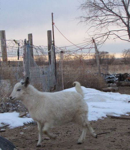 Animal Animal Themes Animal_collection Animals Day Domestic Animals Fence Full Length Goat Goat Life Goatfarm Goats Livestock Mammal Nature One Animal Outdoors Pets Sky Snow White Color