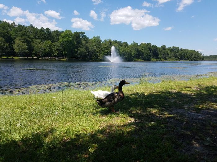 Ducks Waterfront Water Fountain Shades Of Nature Shadows Showcase July Sky And Clouds 43 Golden Moments Summertime Outdoor Photography Creative Light And Shadow Trees And Nature No People Landscape_photography