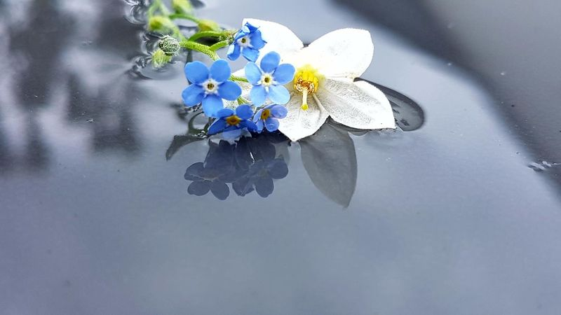 Forget Me Not Jasmine Flower Reflection Fragility Water No People Freshness After The Rain Springtime Garden Photography Outdoors Photography day Nature Close-up Outdoors Beauty In Nature Freshness Live For The Story