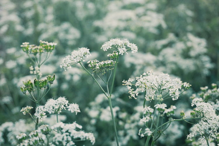 field of cow parsley Keck Wild Chervil Cow Parsley Flowers White Flowers Summer Field Field Of Flowers EyeEm Selects Flower Flower Head Snowflake Beauty Plant Part Close-up Plant Blossom In Bloom Wildflower Plant Life Pistil Uncultivated Botany Stamen Blooming