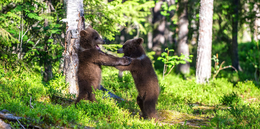 Young bears standing by tree in forest