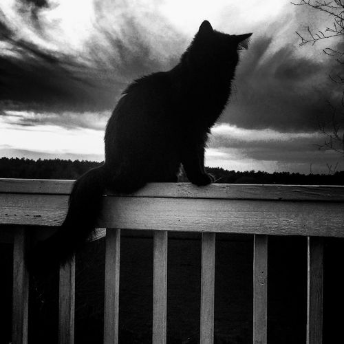 Outdoors Landscape Dramatic Sky No People Black And White Blackandwhite Photography Black Cats Cat Lovers Domestic Animals Sky Cranberry Bog High Angle View One Animal Animal Themes Outdoors Photograpghy  Catoutdoors Cat Silhouette Cats Of EyeEm BYOPaper!