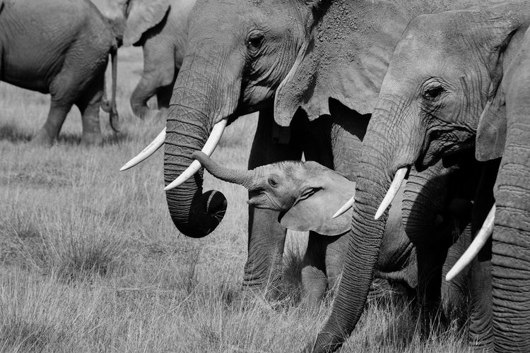 Elephants on grassy field
