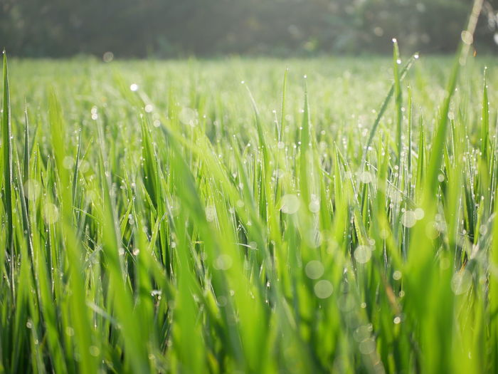 Close-up of wet crops growing on field