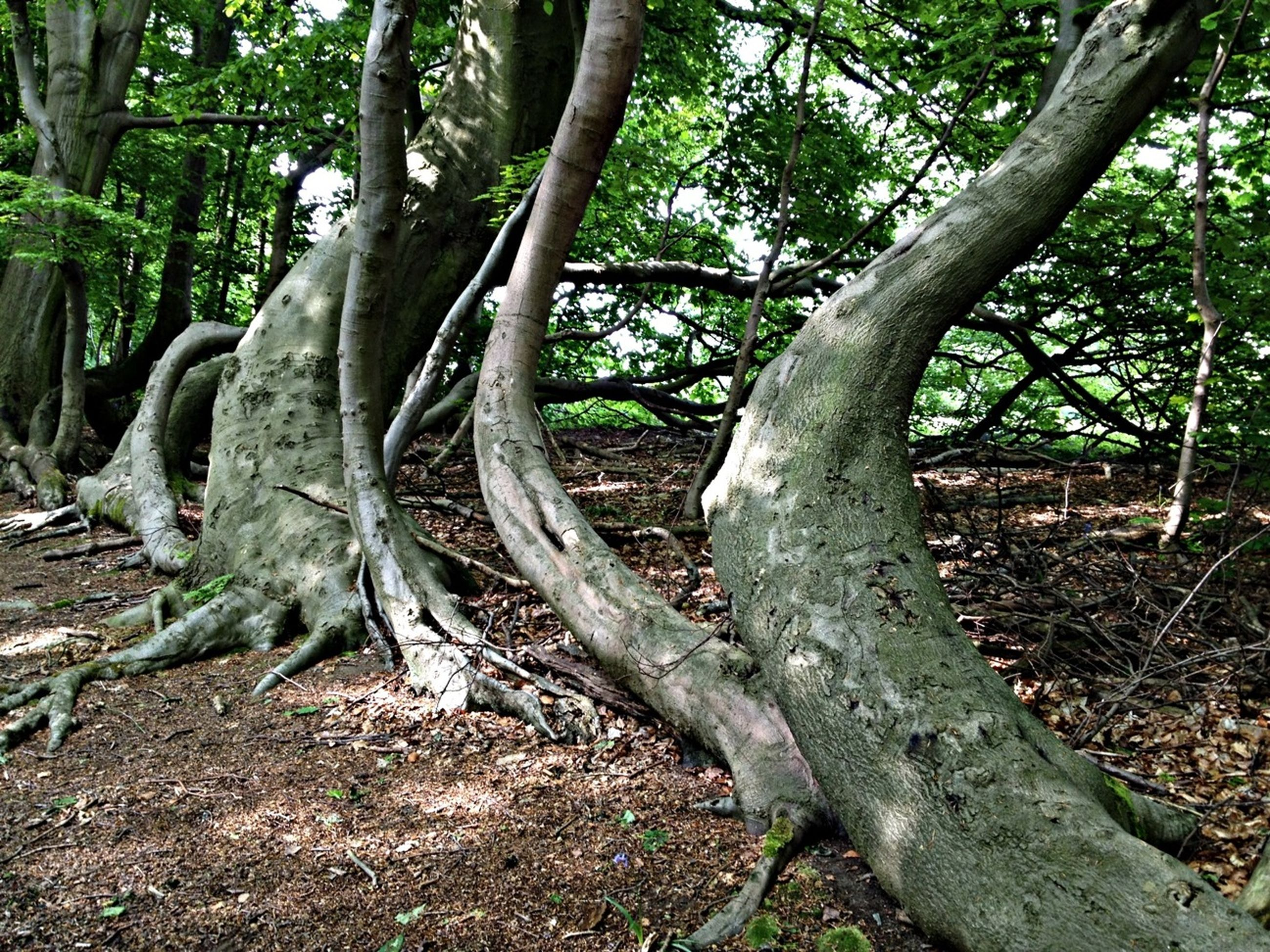 tree, tree trunk, forest, growth, tranquility, branch, nature, woodland, tranquil scene, root, beauty in nature, scenics, landscape, day, non-urban scene, outdoors, no people, plant, non urban scene, fallen tree