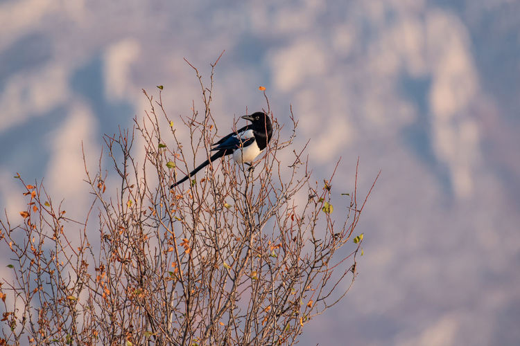 Eurasian magpie (pica pica) Nature and wild bird image Eurasian Magpie Pica Pica Animal Animal Themes Animals In The Wild Bird Animal Wildlife Vertebrate One Animal Perching No People Day Nature Outdoors Plant Tree Black Color Branch Focus On Foreground Sunlight Land Selective Focus