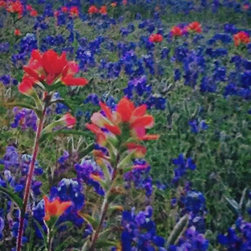 Bluebonnets Indianpaintbrushes Flowers Spring Season  Texas Glenrose Pretty Purple Pink Picoftheday Photosociety Poisoned_pics_photography Jessicaann Jessicapopham