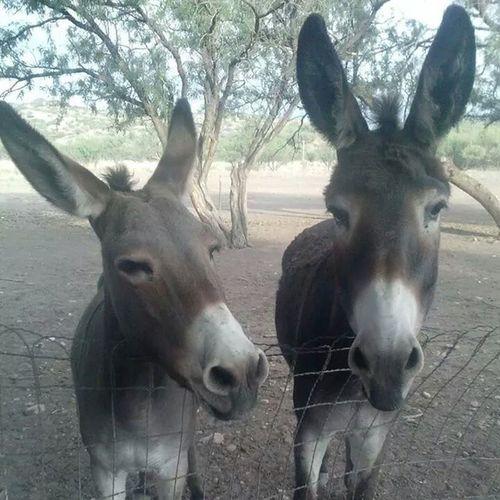 Driving the back roads of Tucson, Arizona. I stumbled across these 2 guys! Donkey Ass Tucson Arizona Awesome Explorebc Hot Desert Beautiful Backroads Driving Mountains Cool Fantastic Seetucson Natures_lens Everything_animals