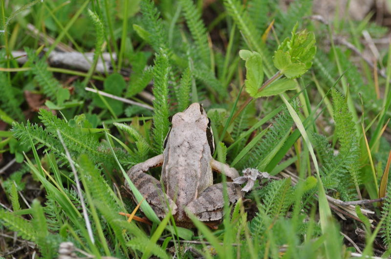 Animal Themes Animal Wildlife Animals In The Wild Close-up Day Frog Full Length Grass Green Color Growth Leaf Mammal Nature No People One Animal Outdoors Plant Reptile