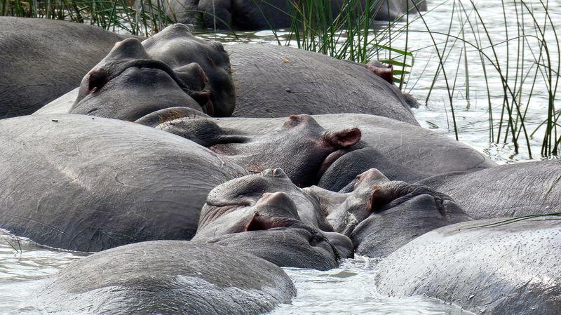 Animal Themes Flusspferd Flusspferde Hippo Hippopotamus Hippos Hippotamus  Mammal Nature Nature Nilpferd Outdoors St Lucia St Lucia Wetland Park Water