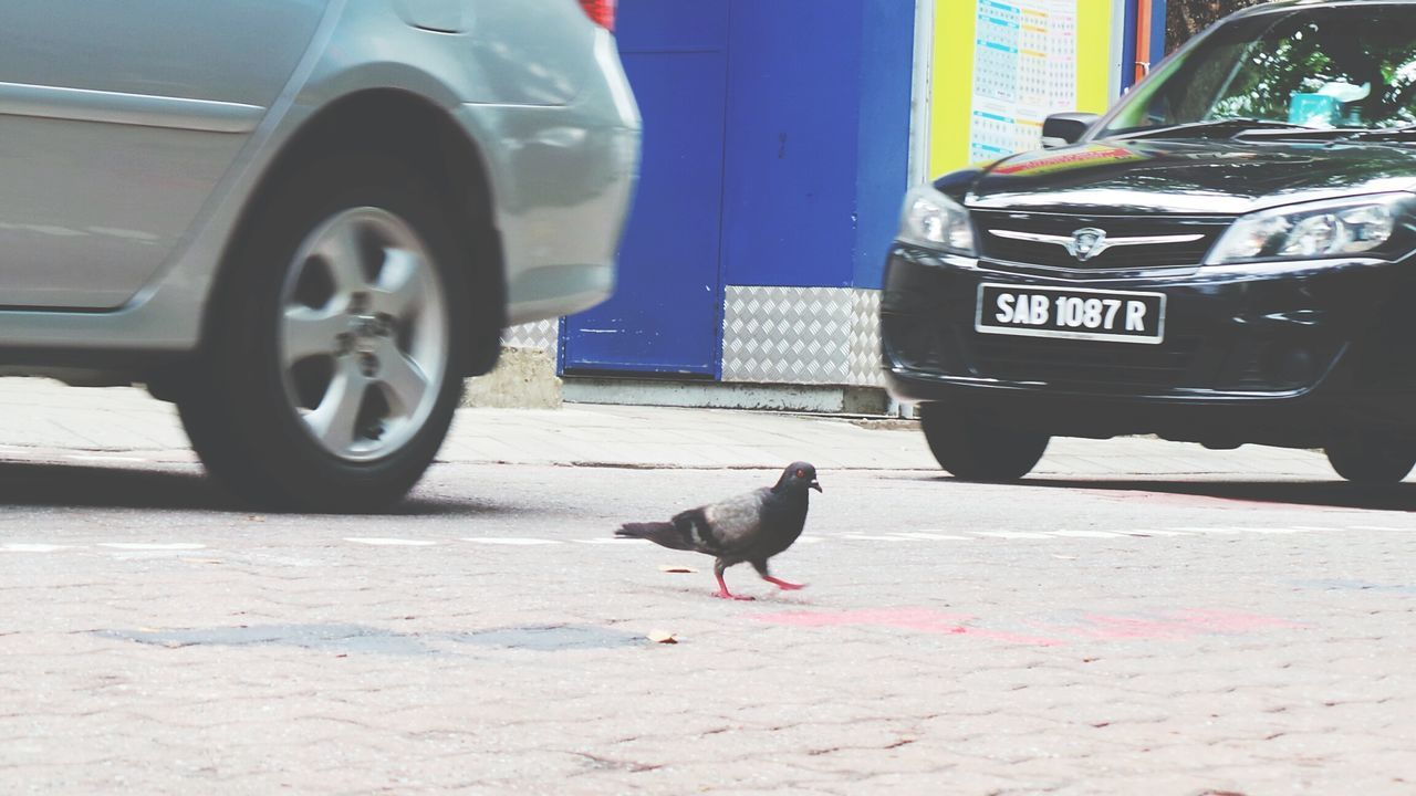 bird, animal themes, one animal, animals in the wild, day, transportation, mode of transport, animal wildlife, outdoors, crow, no people, raven - bird, road, perching, close-up, mammal