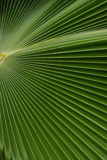 Leave of a palm tree, Caribbean Abstract Backgrounds Beauty In Nature Botanic Caribbean Close-up Day Dutch Antilles Flora Freshness Green Color Leaf Leeward Islands Nature Netherland Antilles No People Outdoors Palm Leaf Palm Tree Plant Tourism Travel Travel Destinations Tree West Indies