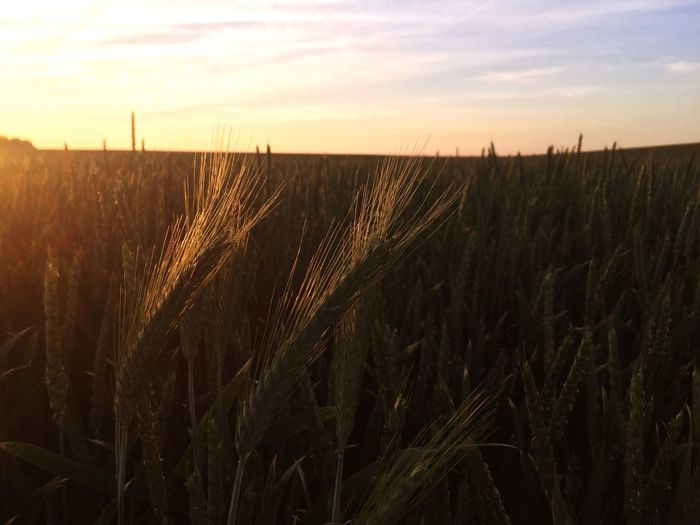 Do What you like to do... Agriculture Growth Field Rural Scene Crop  Farm Landscape Tranquil Scene Nature Wheat Cereal Plant Sunset Tranquility Beauty In Nature Sky Scenics Plant Outdoors No People Ear Of Wheat
