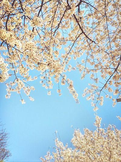 Cherry Blossoms Sky Spring