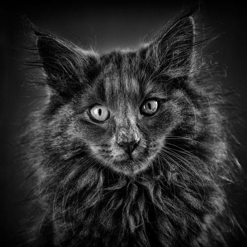 This is not a cat. Bkackandwhite Norvegianforrestcat Kitten Portrait Leopard Looking At Camera Pets Domestic Cat Feline Black Background Whisker Close-up Animal Eye Cat Animal Head  Animal Face Animal Ear