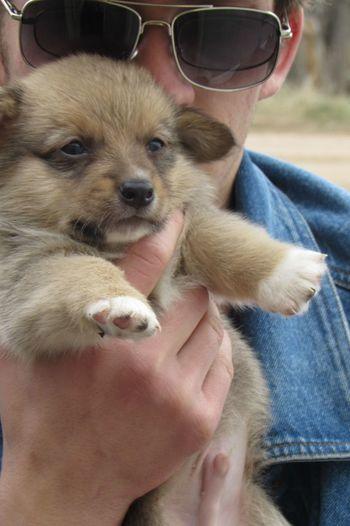 Close-up of corgi puppy