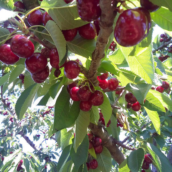 Ripe cherries hanging on a cherry tree branch on a sunny day. Agriculture Cherry EyeEm Nature Lover EyeEmNewHere Freshness Summertime Beauty In Nature Berry Fruit Branch Cherry Branch Cherry Tree Freshness Fruit Growth Healthy Eating Juicy Juicy Fruit Nature Organic Organic Food Red Ripe Ripe Fruit Sweet Food Tasty