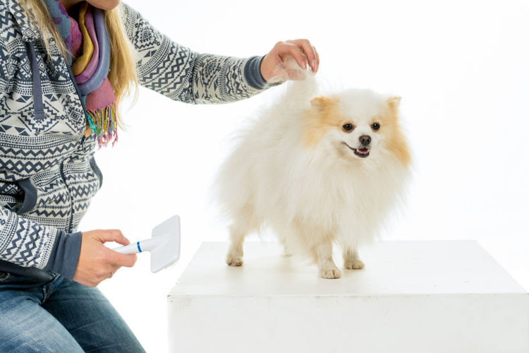 Grooming and combing of a cream and white Pomeranian - Dwarf Spitz dog isolated on a white background Pomeranian Adult Animal Hair Care Casual Clothing Combing Dog Domestic Domestic Animals Grooming Indoors  Mammal Midsection One Animal People Pet Owner Pets Real People Sitting Taking Care White Color Women