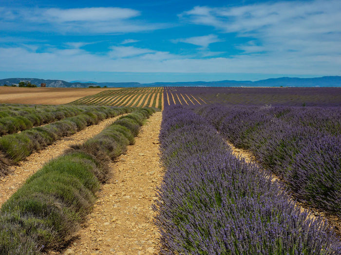Agriculture Agriculture Beauty In Nature Cloud - Sky Crop  Cultivated Land Day Farm Field Field Growth In A Row Landscape Lanscape Lavender Nature No People Outdoors Purple Rural Scene Scenics Sky Summer Tranquil Scene Tranquility