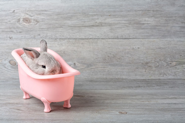 Cute little rabbit on a pink bathtub. rabbit that is cute and precise according to breed standards
