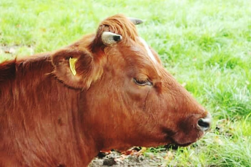 Nature Photography Cow Cows In The Feilds Brown Cow Cows!!! Beauty In Nature Valkenburg Canoneos1300D Fresh On Eyeem  Close-up Outdoor Photography The Week On Eyem