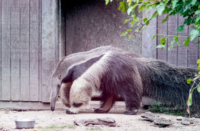 Giant anteater walking around his enclosure at a zoo Ant Eater Animal Animal Themes Animal Wildlife Anteater Blackandwhite Captivity Full Length Giant Anteater Long Hair Long Neck  Mammal Mammals Nature No People Odd Animal Friendship One Animal Outdoors Side View Water Wildlife Zoology