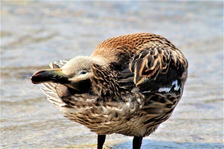 Duck Lovers