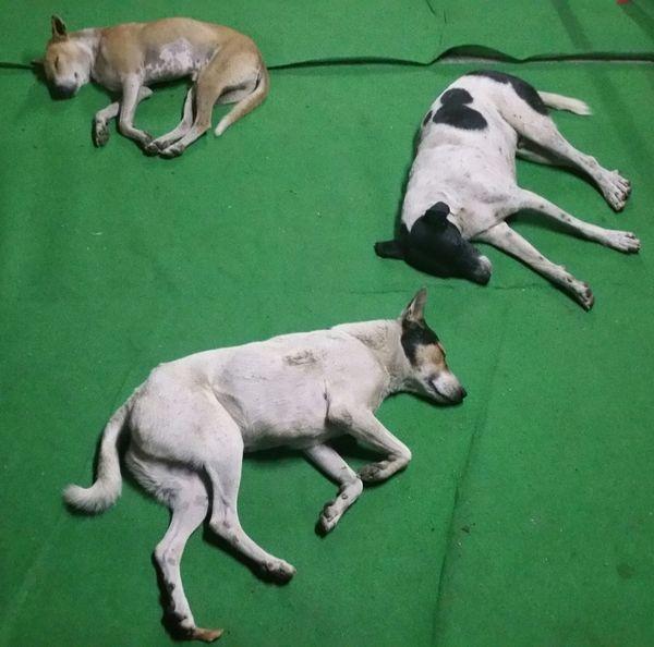 HEAVENLY EARS Asleep Cow Cute Dogie Dreams Love Sleep Sleppy Dog