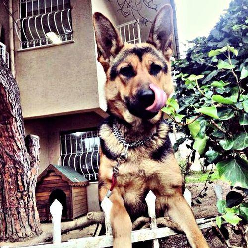Working Dog Pet Betty my sweety :)