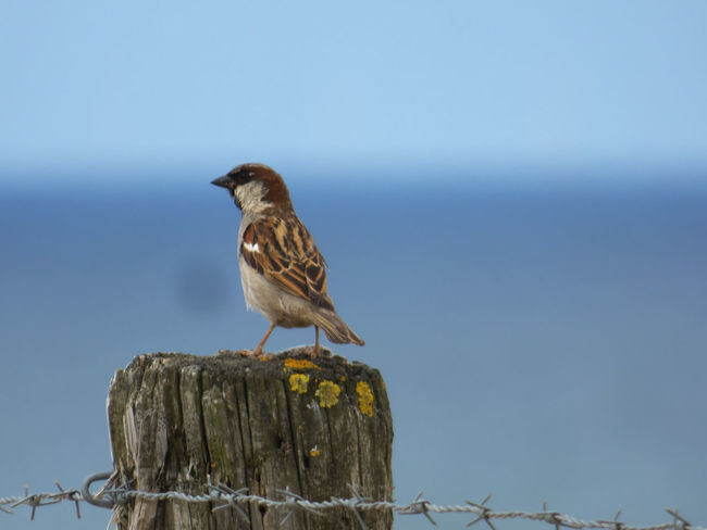 Animal Animal Themes Animal Wildlife Animals In The Wild Bird Clear Sky Copy Space Day Focus On Foreground Nature No People One Animal Outdoors Perching Side View Sky Sparrow Vertebrate Wood - Material Wooden Post