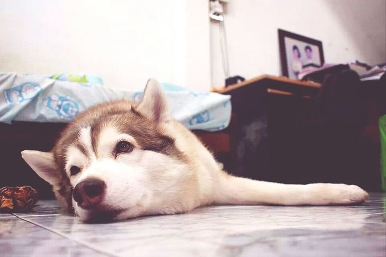 Close-Up Of Husky Relaxing At Home