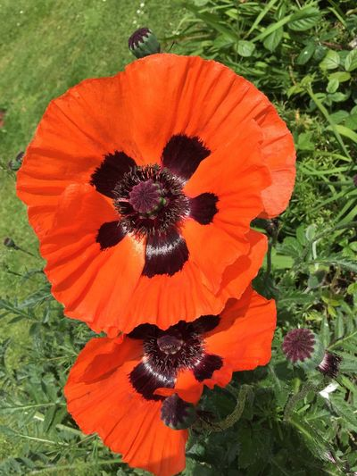 Summer blooms! Got to live the British weather and countryside. Flower Orange Color Freshness Fragility Petal Flower Head Nature Growth Beauty In Nature No People Plant Outdoors Day High Angle View Blooming Close-up Poppy Purple British Countryside Summer Beautiful Day Walking Purple Colour