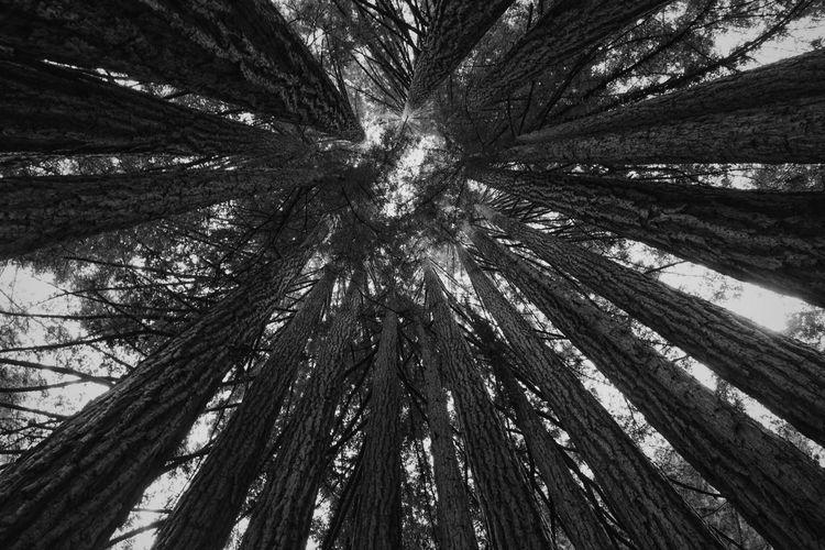 Forest Blackandwhite Lookingup Trees
