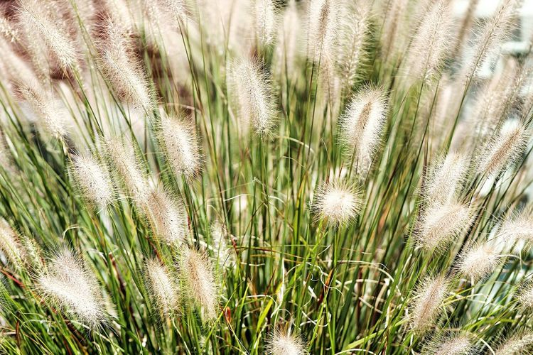 Purple Fountain Grass Grass Fountain Grass Outdoor Photography Eyeemphotography Nature Photography Home Is Where The Art Is EyeEm Nature Lover Background