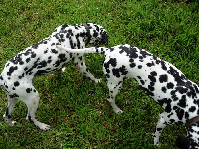 Animal Themes Chiang Mai Dalmatian Dog Day Dog Domestic Animals Friendship Grass Love Mammal Natural Beauty Nature No People Pets Sister & Brother Thailand