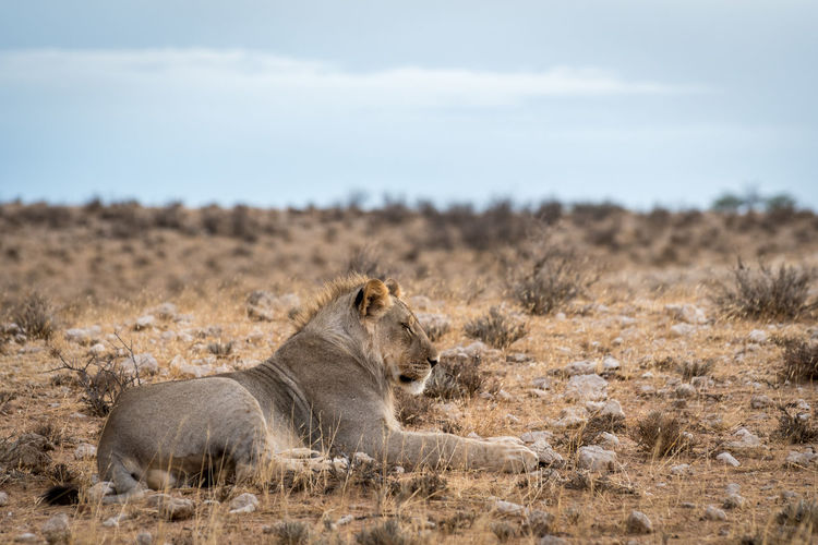 Lion on landscape against sky