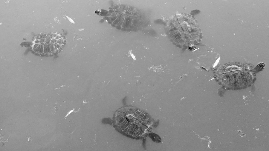High angle view of turtles swimming in water