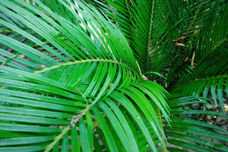 High angle view of palm tree leaves