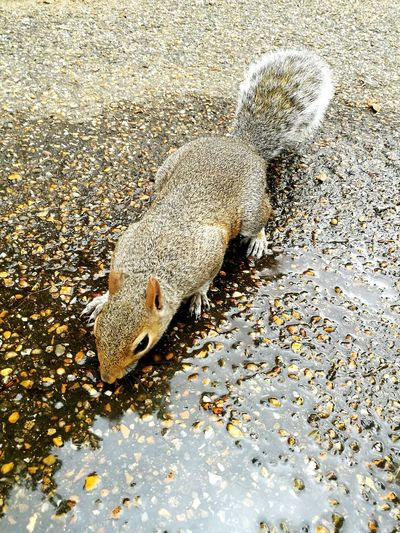 Animal Themes Squirrel Outdoors One Animal Wildlife Water Drinking Hyde Park Ground Floor