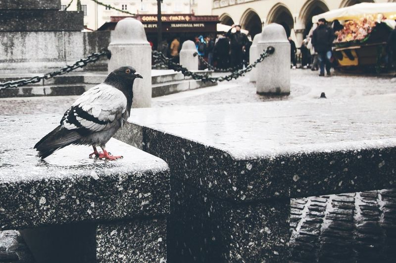 Pigeons perching on a snow